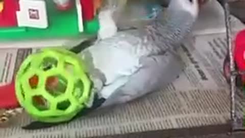 African Grey parrot plays like a puppy