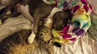 Needy Feline Cuddles With Her Canine Best Friend Enjoying Endless Wet Kisses