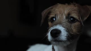 Puppy Jack Russell Terrier Tries Out His Bark