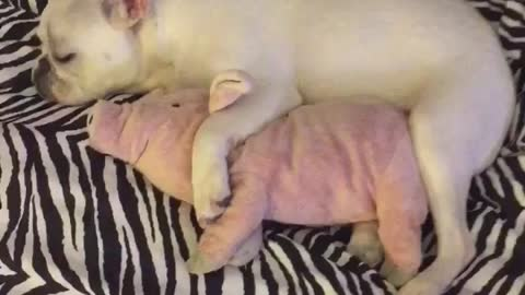 French Bulldog cuddles with stuffed animal