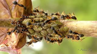 Ants Tending Treehoppers For Honeydew In Ecuador