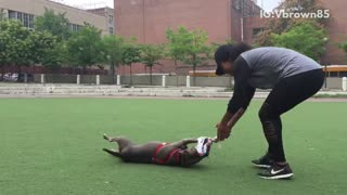 Brown dog getting dragged on turf with toy  - Video