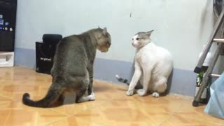 Two cats fighting like film - Video