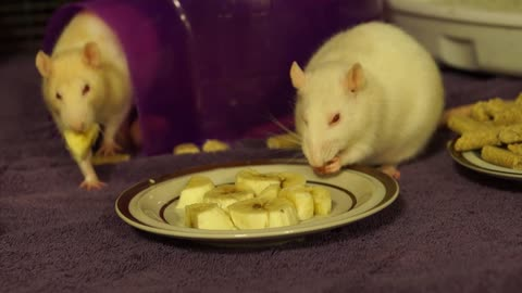 Rats eating bananas