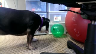 Indiana the Bulldog Pops a Balloon  - Video