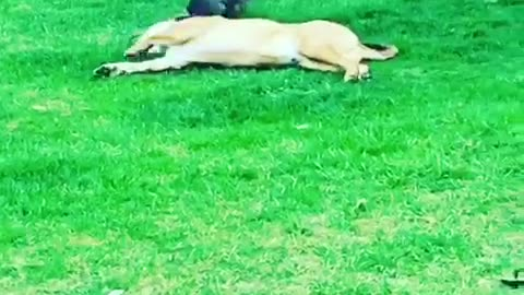 A brown dog plays with a grey rabbit