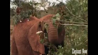 Elephant eat from leaves - Video