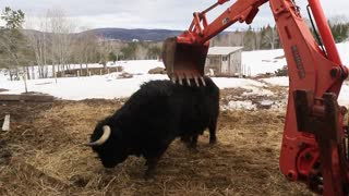 Bull uses excavator to scratch back