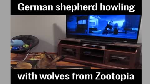 The reaction of the dog while watching Zootopia