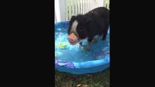 Vladdy the mini pig - playing in the pool - Video