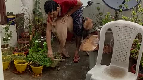 My Daniff 10 months old pet playing with me in rain