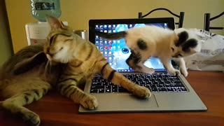 Cat and kitten play fight on top of laptop