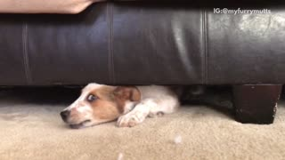 Brown dog stuck under sofa and barking to owner - Video
