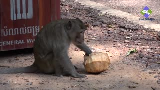 Monkeys eating bananas because it's their favorite food  - Video