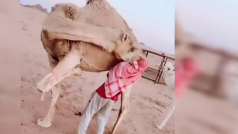 No anger over the anger of the camels