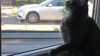 Collab copyright protection - cat falls off windowsill - Video
