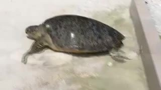 Huge Turtle Pulled Out Of The Pool