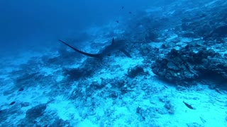 Thresher Shark from Fuvahmulah