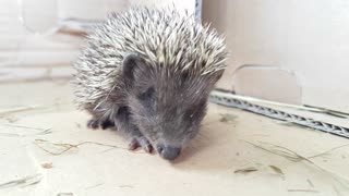 Baby hedgehog try to eat worm - Video