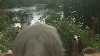 Dog barks at dog statue - Video