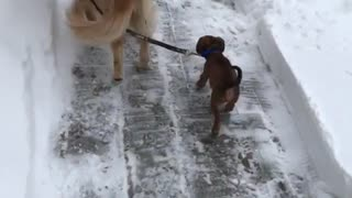 Golden retriever pulling leash of small brown dog