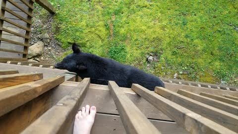 Bear decides to climb balcony to say hello