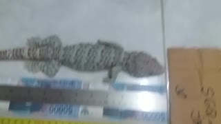 The Biggest Geckos I Have Ever Had - Video