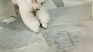 White poodle flips over on floor  - Video