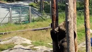 Brown Bear Scales Tree to Get a Snack