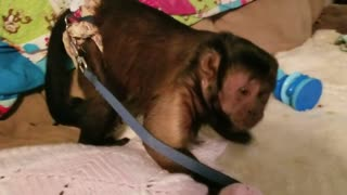 Capuchin Monkey Watches the Rain  - Video