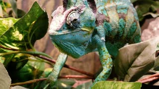 Chameleon is all smiles after eating tasty snack
