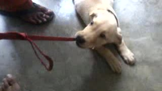 Labrador Puppy Growling while playing with the owner  - Video
