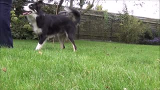Border Collie shows how to change from moving into stand position