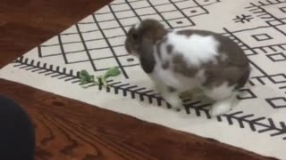 Bunny rabbit has a case of the zoomies