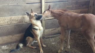 German Shepherd Plays with Foal - Video