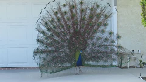Wild peacock puts on display for suburban homeowner
