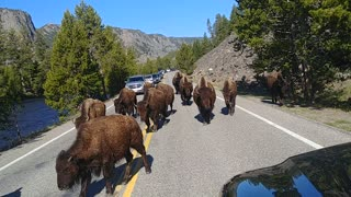 Bison Block Road to Yellowstone