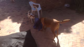 Ridgeback and Jack Russell TUG OF WAR - Video
