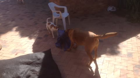 Ridgeback and Jack Russell TUG OF WAR