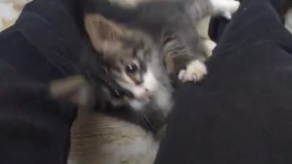 Small tiny kitten climbs up owners jeans legs - Video