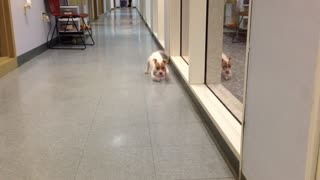 Puppy with deformed front legs refuses to give up - Video