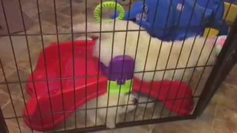 Golden Retriever puppy not happy about sharing