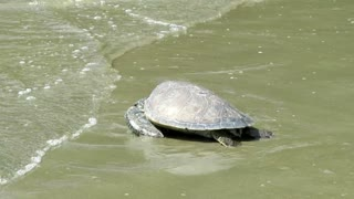 Rescued sea turtles released back into the ocean