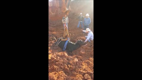 Good Samaritans Rescue A Cow Stuck In Muddy Ground