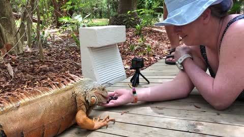 Six foot wild iguana eats berries from woman's hand