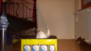 chihuahua gets in the box surprise