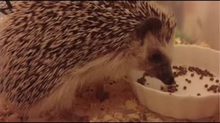Little Hedgehog After Dinner  - Video