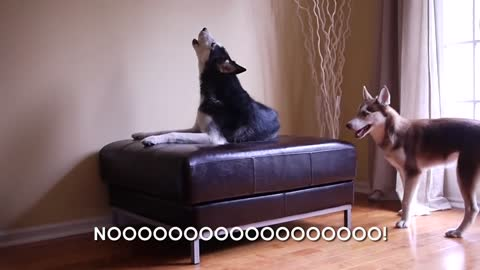 Two Talking Huskies Argue Just Like Human Siblings