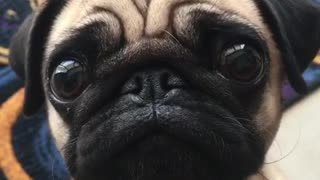 Pug puppy adorably begs for food