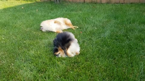 Pomeranians adorably roll around in the grass
